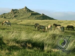 Wild horse - Takhi in Hustai NP