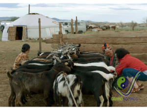 Milking sheep and goats
