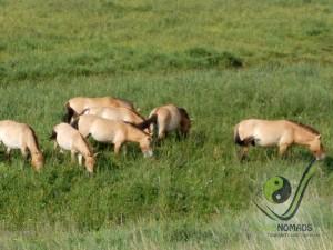 See wild horse Takhi