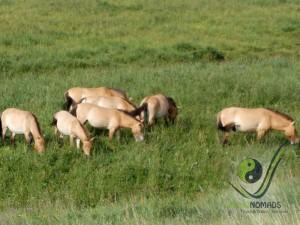 Wild Horse Takhi in Khustai National Park