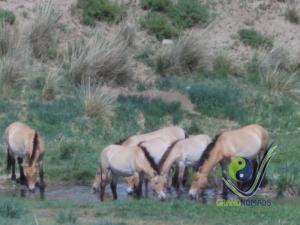 Wild horse Takhi - Perzewalski horse
