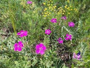 Colorful flowers in Khuvsgul NP