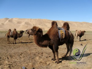 Mongolian 2-humped camels