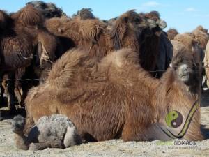 Newly born baby camel