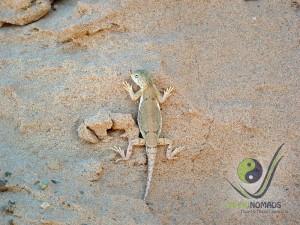 Lizard in the Gobi