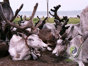 Reindeers in Khuvsgul