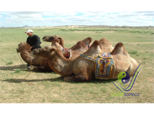 2 humped bactrian camel of Mongolia