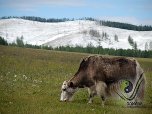 Yak in Central Mongolia