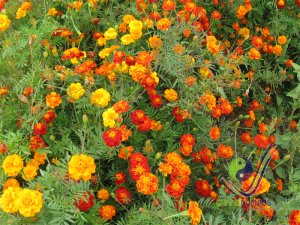 Colorful flowers in Khangai