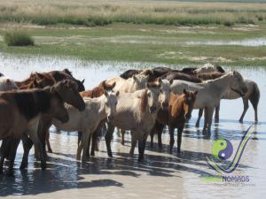Mongolian beautiful horses